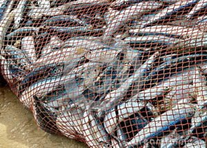 Peter and friends get a net full of fish